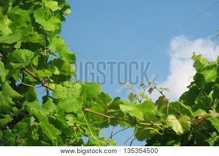 Grapevines against the sky and clouds in southern Italy