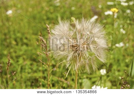 Overblown dandelion closeup on green meadow background