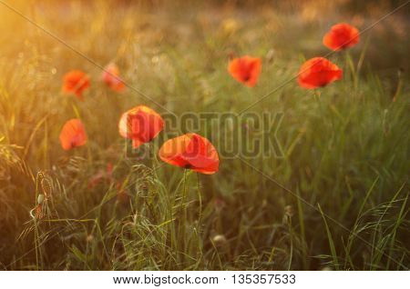 Red Poppy Blooming On Field. Red Poppy Flowers In The Oil Seed R