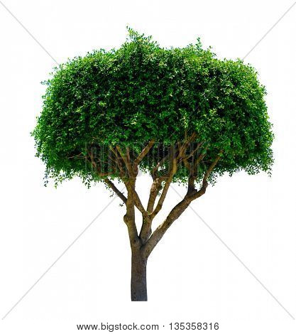 ornamental tree. Isolated over white background .