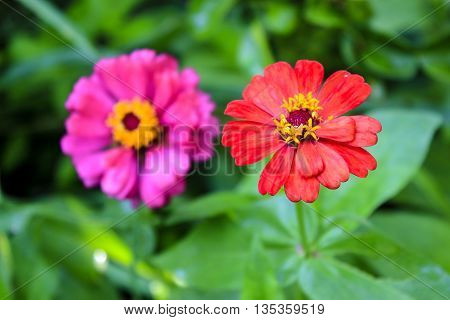 Zinnia, flowers in the green meadows in the background.
