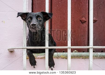 Small black puppy hanging looking out of the window bars