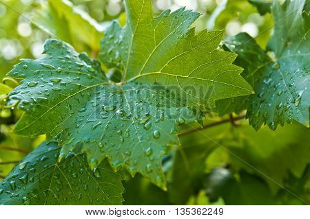 big green grapes leaves with dewdrops in the summer morning. Closeup