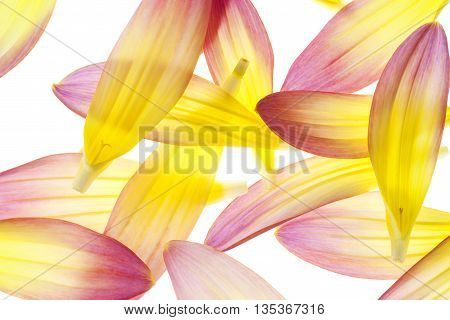 Studio Shot of Yellow and Red Colored Dahlia Flower Petals Isolated on White Background. Large Depth of Field (DOF). Macro.