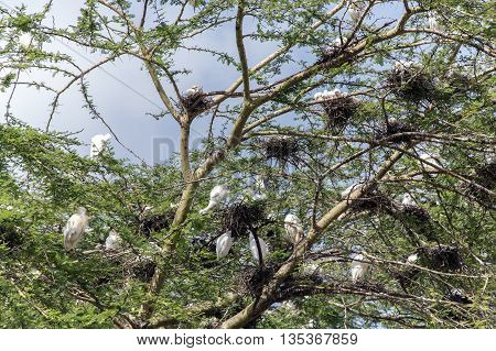 Group nesting-place of white African Cattle Egret on an acacia near Lake Nakuru in the Great Rift Valley, Kenya, Africa