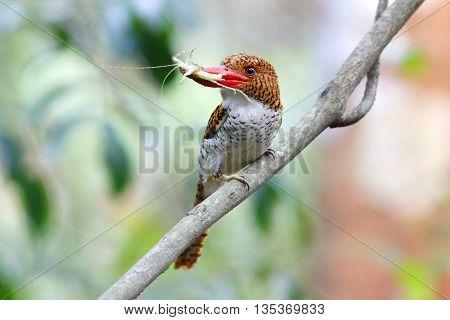 Banded Kingfisher Lacedo pulchella Female Feeding Thailand