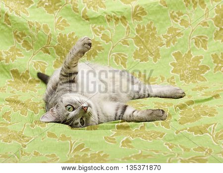 Cat portrait close up, cat looking straight, domestic young cat in green background with space for advertising and text, cat playing on a sofa