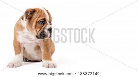 Sad Bulldong Puppy