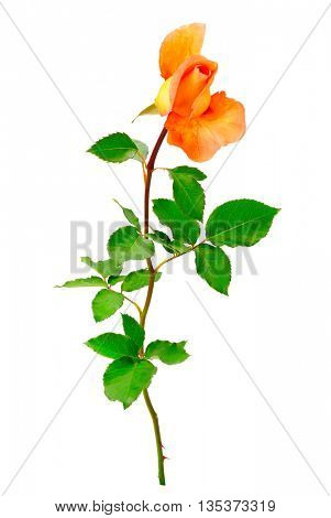 Yellow rose with green leaves isolated on white background