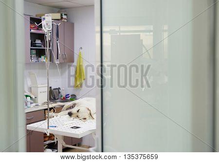 Sick labrador
