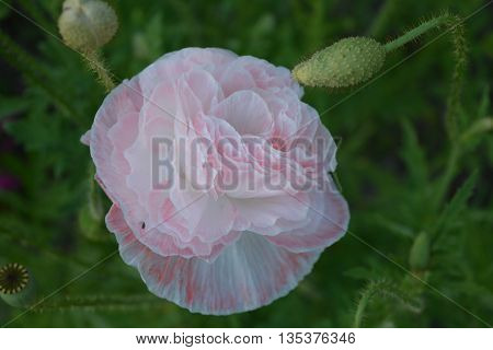 beautiful and delicate flowered poppies in pink