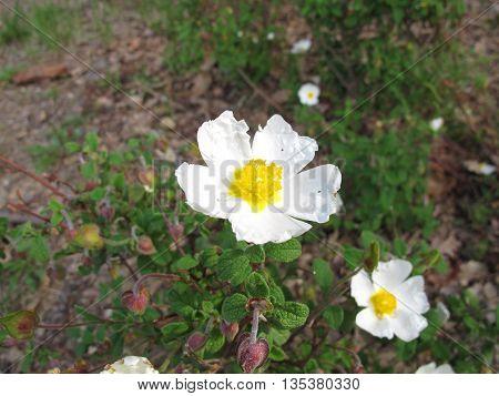 Flowered sage leaved rock rose, Cistus salviifolius