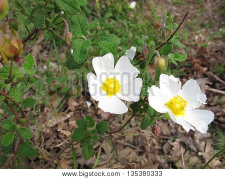 Flowered sage leaved rock rose, Cistus salviifolius