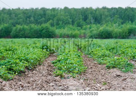 Strawberry field with long raised beds in cloudy weather