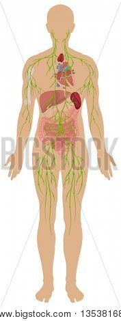Lymphatic system in human body illustration