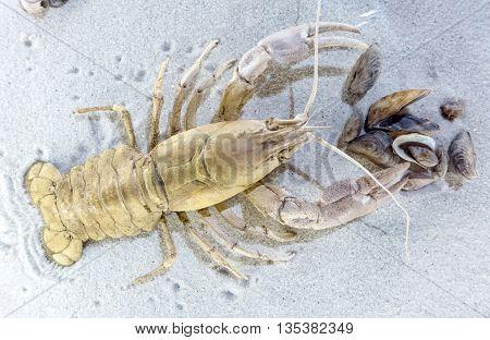 Prehistoric marine animal - crayfish - detail