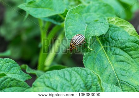 Colorado beetle on potato bush on a summer day
