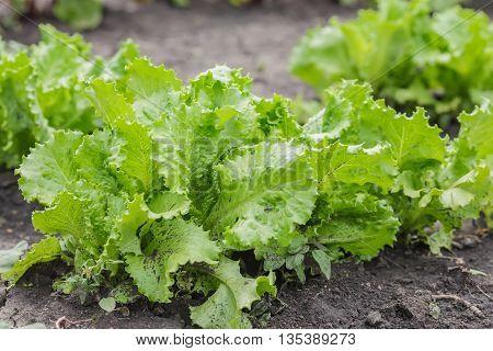 Salad leaves with Green Oak,  Red Leaf Lettuce