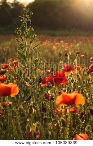 Red poppy flowers in the oil seed rape fields on sunset