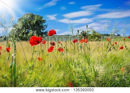 Poppies corn poppy field flowers on a summer day