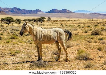 elegant wild horse eating grass of the savanna during the dry season. Aus, south Namibia.