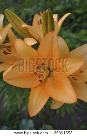 orange lilies in bud in flower garden