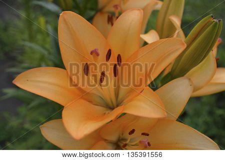 orange lilies in a summer flower garden closeup