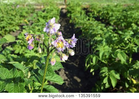 blooming potatoes in the vegetable garden on a sunny day