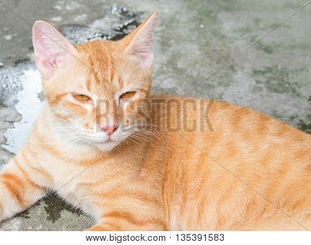 Orange cat lying sideways looking ahead,sleepy ginger cat full face portrait.(select focus front cat)