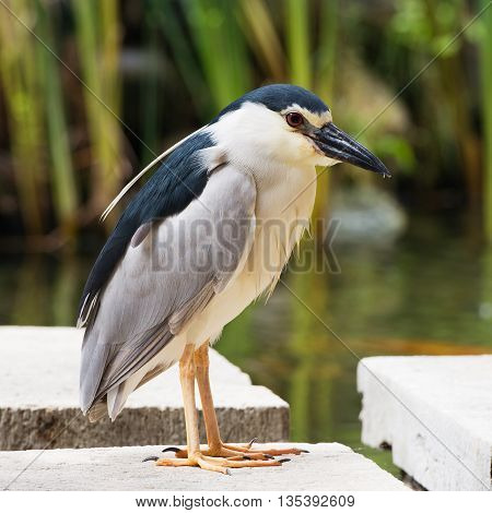 Black-crowned night heron on a stone near the lake