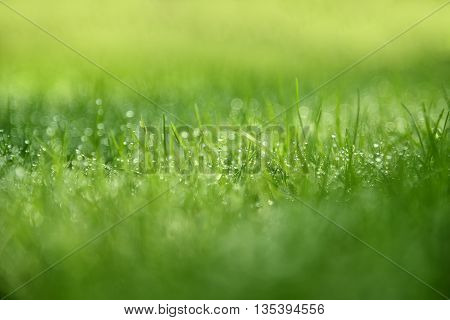 Grass Background : Abstract natural background green grass with a beautiful bokeh. Dew in an early morning on the top of the grasses.