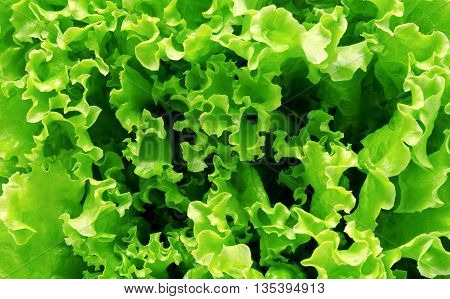 Background of fresh lettuce leaves close up