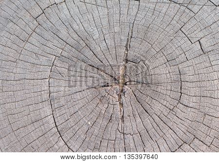 Cracked wood background, An old tree stump shows cracks and fractures radiating from the center that have resulted from the natural weathering from being left in the open air.