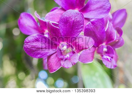 purple orchid flowers the natural in the garden. select focus purple orchid,  Blur blurred background.