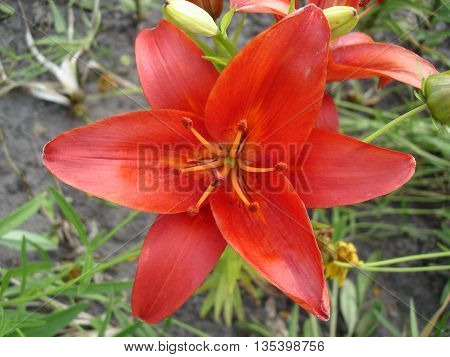 Hybrid lily red flower on a sunny day .