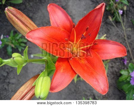 Hybrid lily red flower on a sunny day.