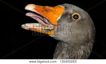 Fierce-looking greylag goose display several rows of sharp teeth