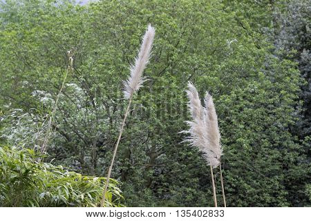 Straws of blooming reed in the forest in England.