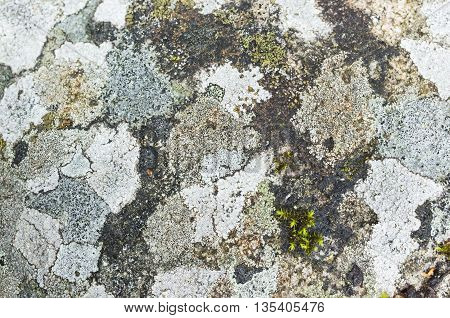 Lichen And Moss Growing On A Stone, Closeup