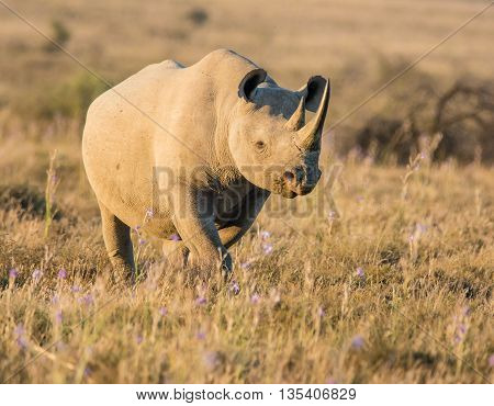 A lone adult Black Rhinoceros in grassland in Southern Africa