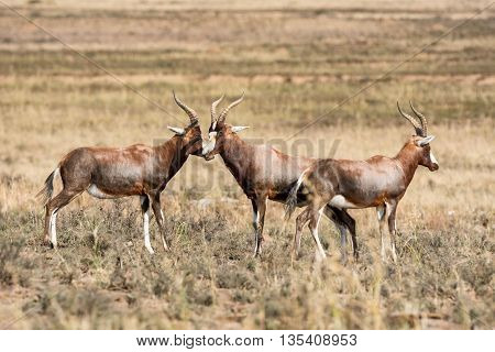 A group of Blesbok in the Southern African savannah