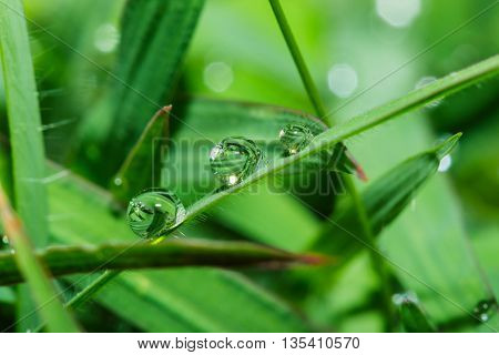 Fresh green grass leaves with dew drops