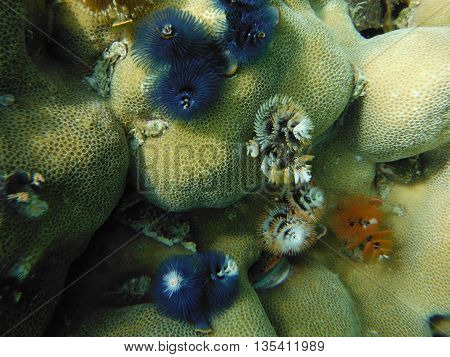Colorful coral  under the sea lipe island southern of Thailand.