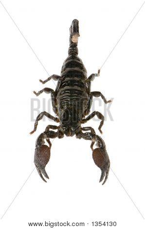 Emperor Scorpion