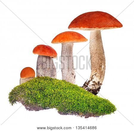 four orange-cap boletus in green moss isolated on white background