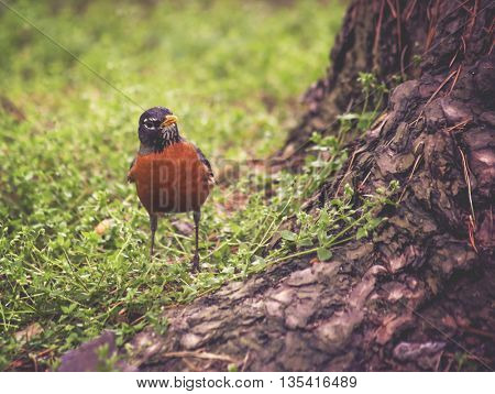 a moody photo of a robin looking for food on the forest floor in between moss and ground cover plants toned with a vintage retro instagram filter effect app or action
