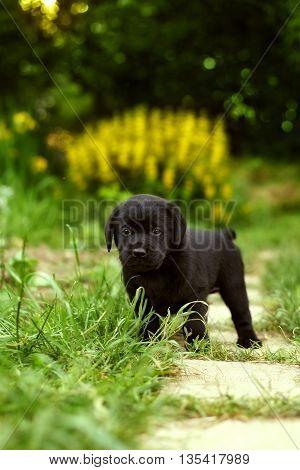beautiful black pedigree Labrador puppy walks in the summer outdoors in the garden