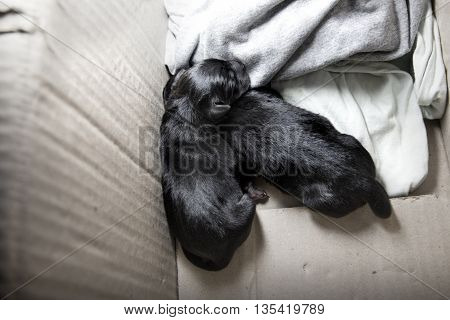 Newborn Puppy Dog Sleeping Black Labrador Retriever Age One Day On Blanket
