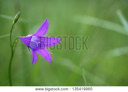 Wild flower campanula on a green meadow.