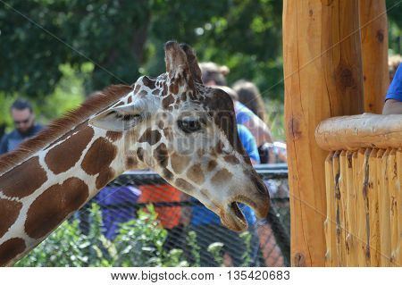 SAINT PAUL, MN - JUNE 16, 2016: Feeding the giraffe at the new feeding station at Como Zoo.